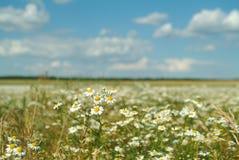 поля стоцвета Стоковая Фотография