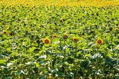 Поля с бесконечным солнцецветом Аграрное поле в чехии Неполовозрелые солнцецветы стоковая фотография
