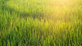 Поля с светлым утром Стоковое фото RF