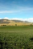 поля цветеня засадили картошки Стоковые Изображения RF