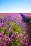 Поля цветка лаванды зацветая стоковые фото