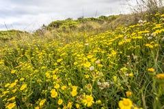 Поля цветков во время времени весны вдоль морского побережья дороги океана Виктории Австралии больших и океанов и скалы моря окре Стоковые Фотографии RF
