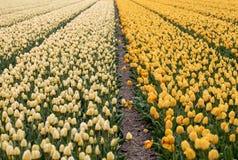 Поля Bollenstreek, южная Голландия тюльпанов, Нидерланды Стоковые Изображения RF