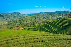 Поля Terrece чая Стоковая Фотография