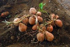 помадка картошки Стоковые Изображения