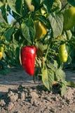 помадка перца красная Стоковые Изображения