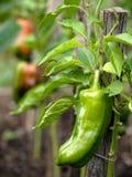 помадка перца сада Стоковые Изображения RF