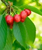 Помадка и сочно зрелые вишни на дереве стоковые фотографии rf