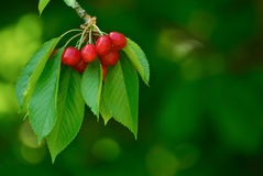 Помадка и сочно зрелые вишни на дереве стоковая фотография