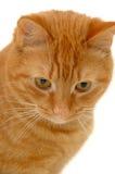 помадка котенка Стоковые Изображения