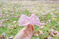 помадка цветков розовая Стоковые Фото