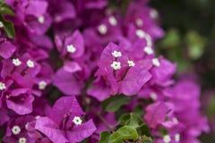 помадка цветков розовая Стоковое Фото