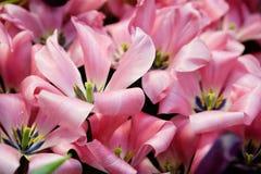 Помадка 16 greigii тюльпана Стоковое Фото