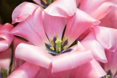 Помадка 16 greigii тюльпана Стоковые Фотографии RF