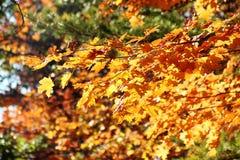 помеец в октябре Стоковое Изображение