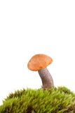 помеец гриба bolete березы Стоковое Фото