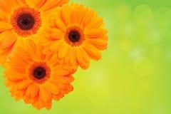 помеец зеленого цвета цветка предпосылки Стоковые Изображения