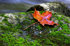 помеец клена листьев Стоковые Фото