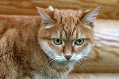 помеец кота Стоковое фото RF