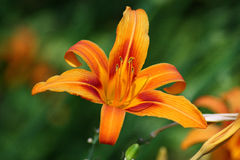 помеец лилии Стоковое Фото