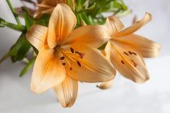 помеец лилии Стоковая Фотография