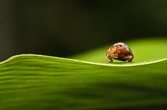 помеец листьев жука зеленый Стоковые Фотографии RF