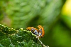 помеец листьев жука зеленый Стоковые Изображения