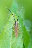 помеец листьев жука Стоковые Фотографии RF