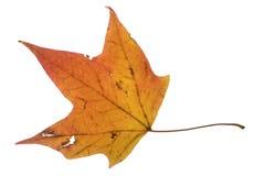 помеец листьев Стоковое Изображение