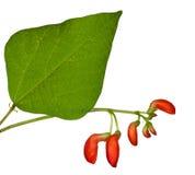 помеец листьев haricot цветков зеленый Стоковое Фото
