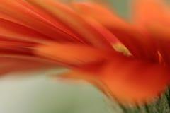 помеец маргаритки стоковая фотография