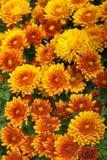 помеец хризантемы предпосылки свежий Стоковое Изображение RF
