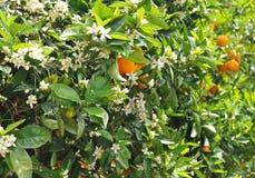 помеец цветения Стоковые Изображения