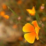 помеец цветка нерезкости предпосылки Стоковые Фотографии RF