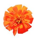 помеец цветка одного Стоковые Фото