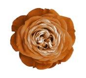 помеец цветка поднял Предпосылка изолированная белизной с путем клиппирования Природа Крупный план отсутствие теней Стоковая Фотография RF