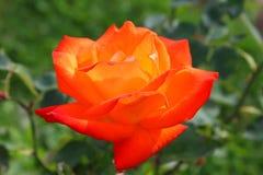 помеец цветка поднял Стоковое Изображение