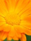 помеец цветка росы calendula Справочная информация Макрос Стоковое Изображение RF