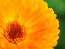 помеец цветка росы calendula Справочная информация Стоковое Изображение RF