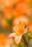 помеец цветка Стоковые Фото