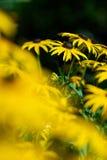 помеец coneflower Стоковые Фото