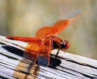 помеец dragonfly Стоковое Изображение