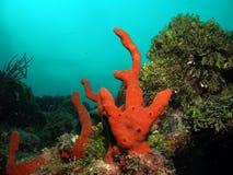 помеец florida коралла южный Стоковая Фотография RF