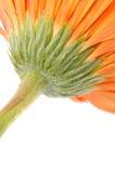 помеец gerbera маргаритки Стоковые Фото