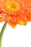 помеец gerbera маргаритки Стоковое Изображение RF