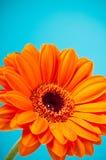 помеец gerbera цветка голубой маргаритки Стоковые Изображения RF