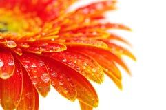 помеец gerbera цветка Стоковая Фотография RF