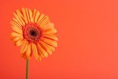 помеец gerbera цветка Стоковые Фотографии RF