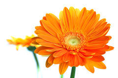 помеец gerbera цветка Стоковая Фотография