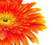 помеец gerbera цветка Стоковые Изображения